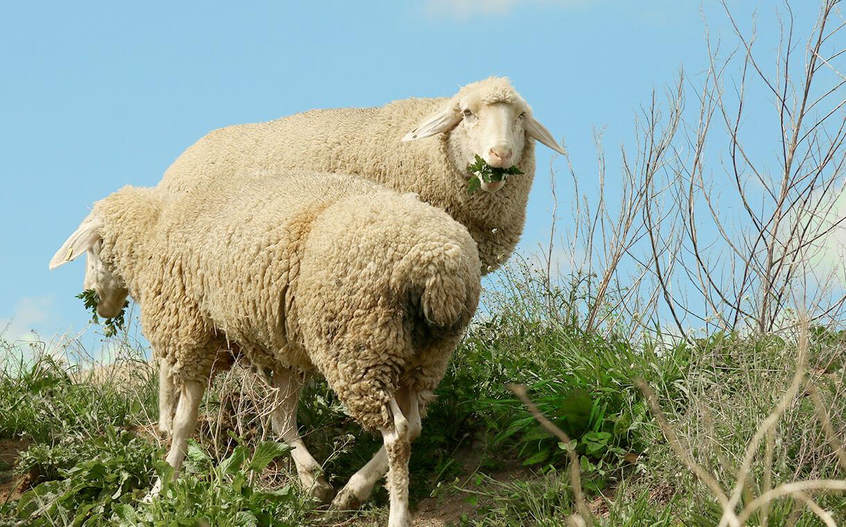 Zwei grasende Schafe