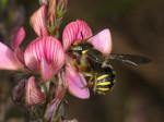 Wildbiene und Blüte