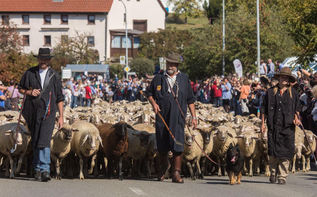 Schäfer mit Schafen beim Denkinger Albabtrieb
