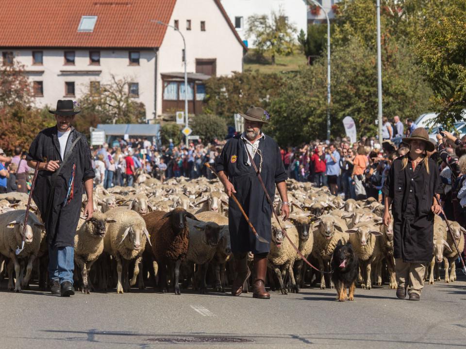 Die Schafe werden auf die Herbstweide getrieben